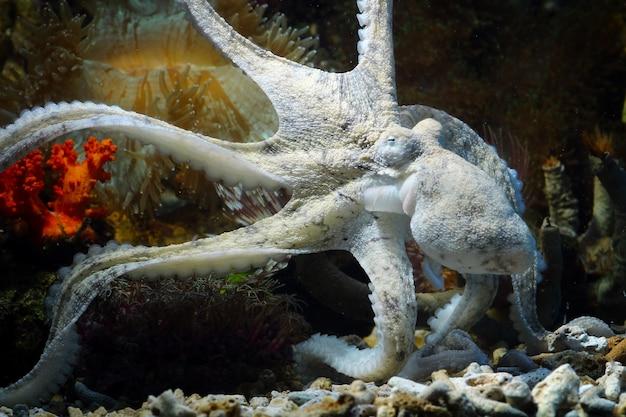 Камуфляж кальмара за кораллом