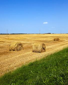 곡물 청소 후 농업 분야에 누워있는 짚 더미