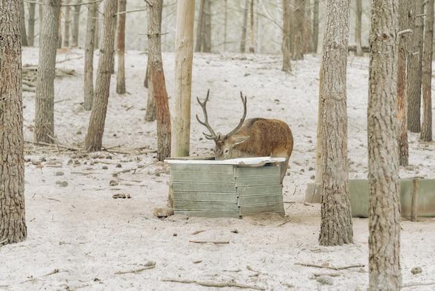 Олень пьет воду в лесу