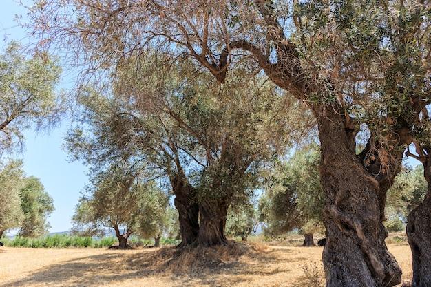 古いオリーブの木のプランテーションのスタンド