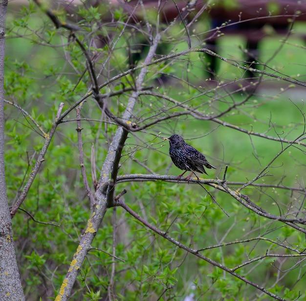 Скворец сидит на ветке дерева весенним днем в парке
