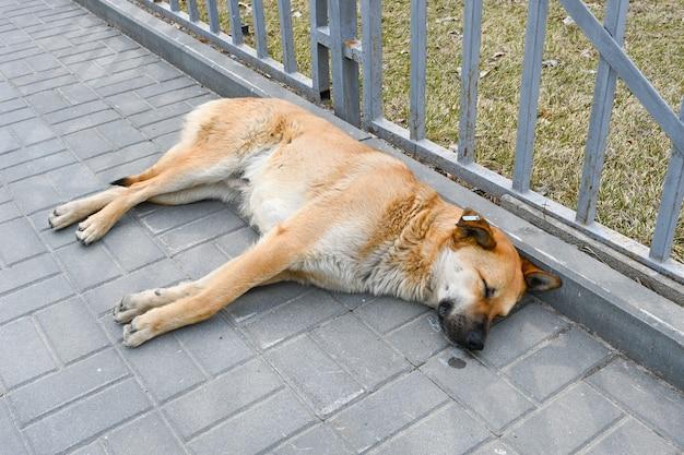 볼고그라드의 보도에 길 잃은 개가 누워 있습니다.