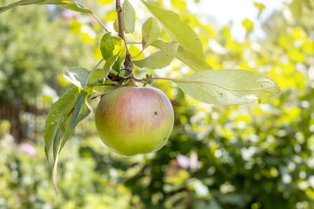 Яблоко штрейфлинга висит на ветке в саду
