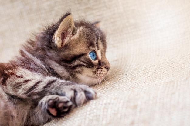 파란 눈을 가진 줄무늬 갈색 고양이가 쉬고 조심스럽게 기대하고 있습니다.