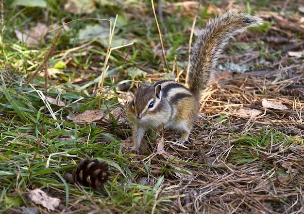 꼬리를 올린 줄무늬 다람쥐가 떨어진 바늘과 솔방울이 있는 땅에 서 있다