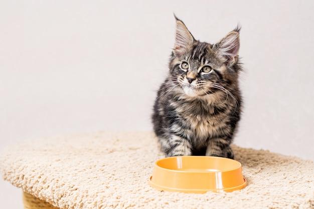 줄무늬 회색 메인 쿤 고양이가 음식 그릇 앞에 앉아 기쁨으로 입술을 핥습니다.