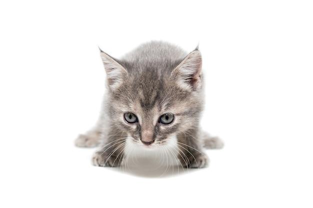 줄무늬 순종 고양이는 흰색 배경에 앉아 있다