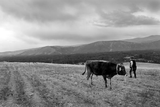 迫り来る嵐の前に山で彼の世話人の隣に強い牛の放牧