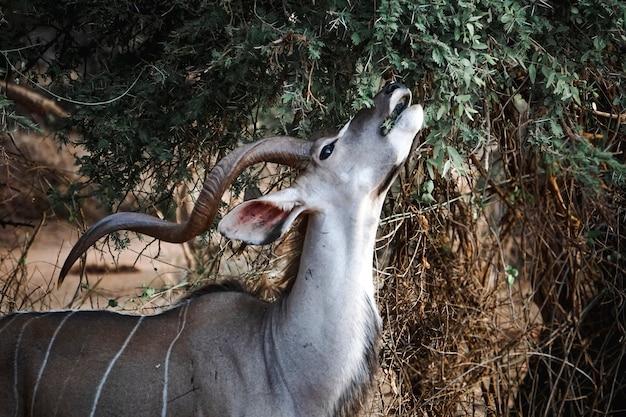 Сильный мужской куду с огромными длинными рогами питается листьями и бутонами дерева в африке