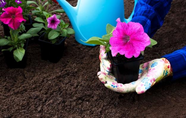 꽃 토양에 피는 분홍색 피튜니아 꽃을 심는 정원사의 스튜디오 샷