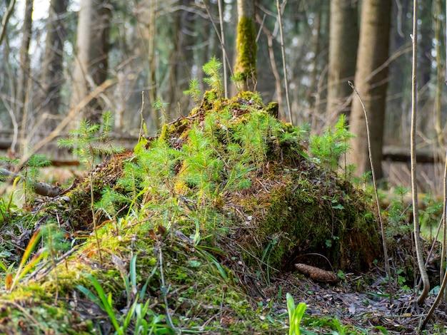 Пень в лесу, покрытый мхом и молодняком. лесной пейзаж. день