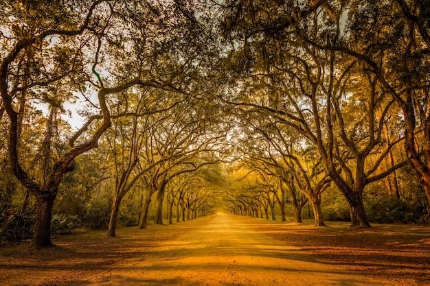 サルオガセモドキに覆われた古代の生きた樫の木が並ぶ見事な長い道