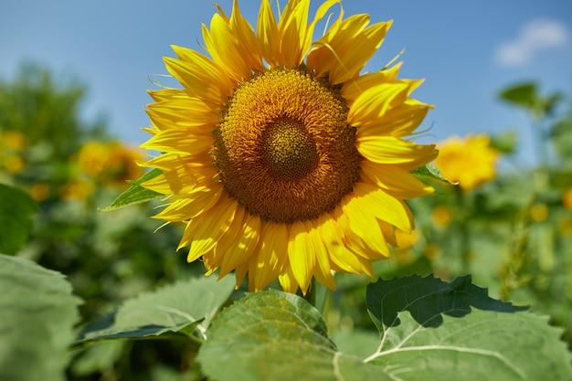 輝く黄色の光の中のひまわりの日当たりの良いフィールド。鮮やかな黄色と満開のヒマワリ、天然油、農業