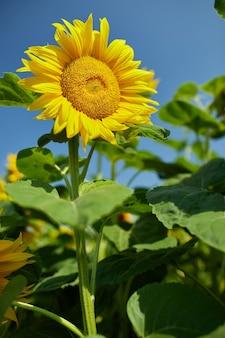 Солнечное поле подсолнухов в пылающем желтом свете. ярко-желтый и полностью распустившийся подсолнечник, масло натуральное, сельское хозяйство.