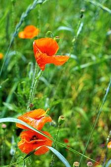 양귀비꽃이 만발한 초원의 화창한 여름날.