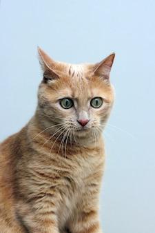 Удивленный забавный рыжий кот. мимика кошки.