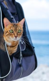 Полосатый кот выглядывает из рюкзака-переноски.