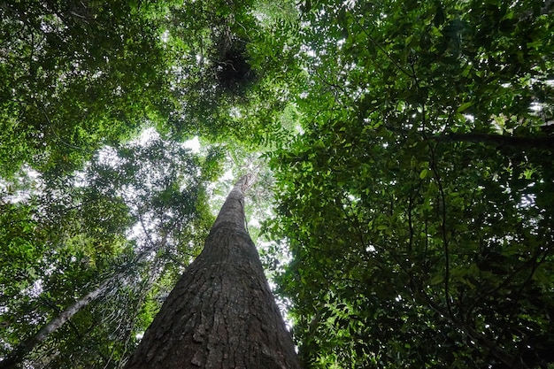 熱帯雨林の背の高い木