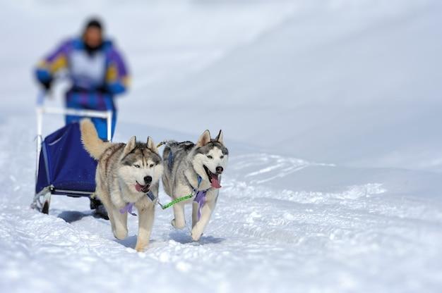 Бригада сибирских ездовых собак тащит санки по зимнему лесу