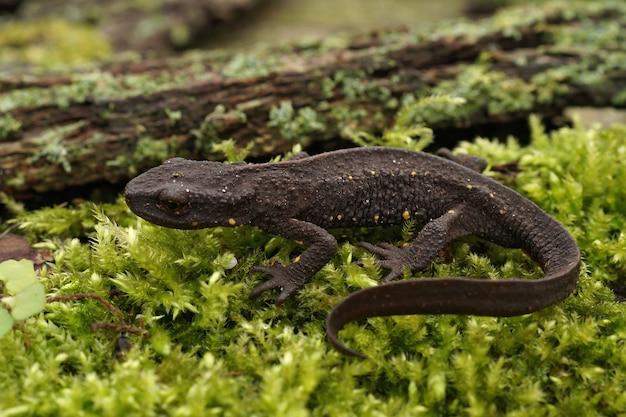 녹색 이끼 낀 땅에 지상파 암컷 중국 사마귀 뉴트(paramesotriton chinensis)