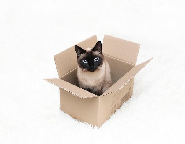 파란 눈을 가진 태국 고양이는 상자에 앉아 있습니다.