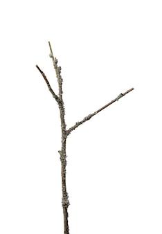 白い背景で隔離された、全長に沿って地衣類の灰色が生い茂った3つの枝を持つ細い乾燥した枝。