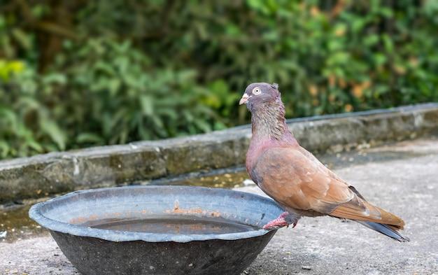 옥상에 있는 구리 그릇에서 물을 마시는 목마른 붉은 비둘기