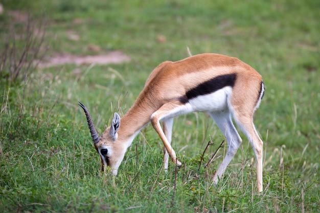 草原の風景に囲まれたケニアのサバンナのトムソンガゼル