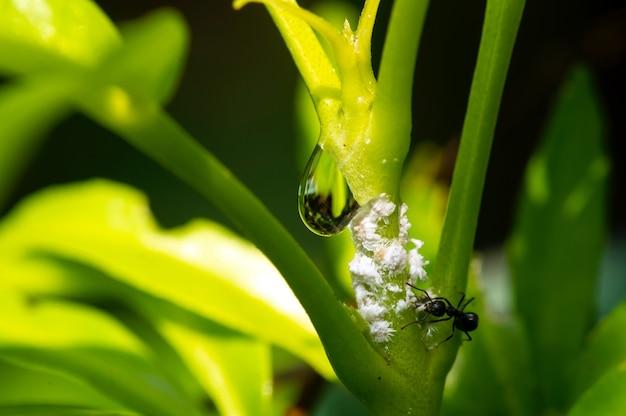Крошечный черный муравей и белые жуки на зеленом листе с каплей воды, выбранный фокус