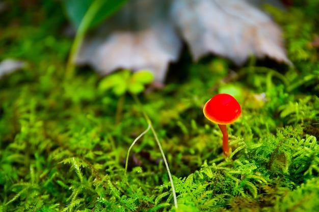 小さな丸太の前の森の下草に小さな赤いキノコが生えています