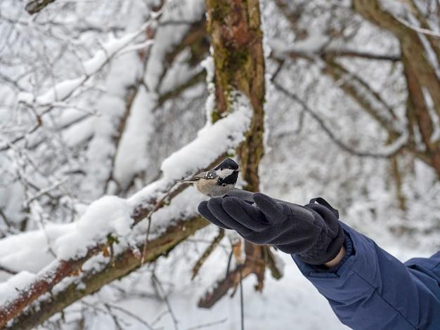 冬の森の中で、手袋をはめた手にシジュウカラが座っています。鳥に餌をやる、選択的な焦点