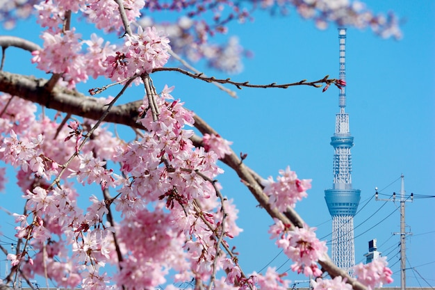 春の時期に満開のピンク色の桜桜のある東京スカイツリータワー。