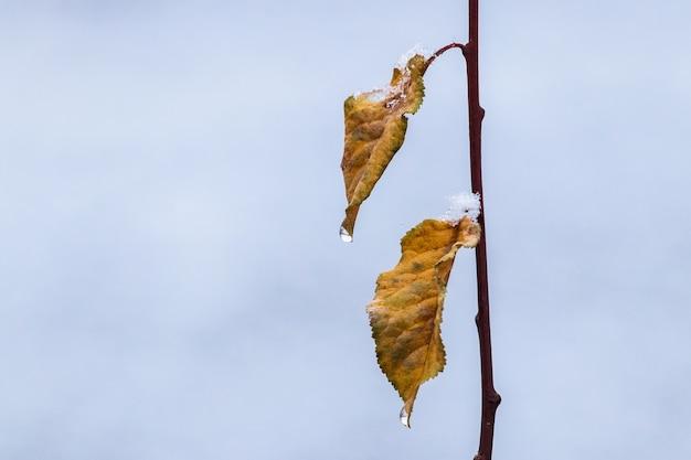 Ветка дерева с заснеженными засохшими листьями и каплями воды во время оттепели