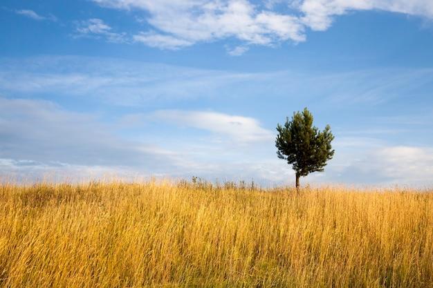 Дерево, растущее на поле с желтой травой в весенний или осенний период на фоне голубого неба.