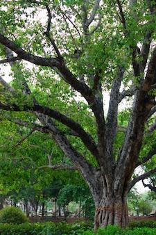 晴れた日の午後にインドの公園の木