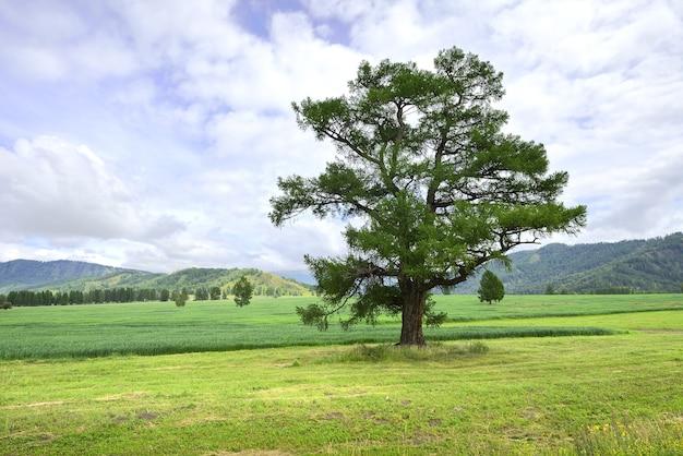 Дерево на сельскохозяйственном поле в горной долине алтая под голубым облачным небом. сибирь, россия