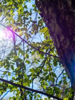 나뭇가지에 나무 줄기와 밝은 녹색 단풍. 밝은 태양 눈부심, 조명. 봄의 도래와 맑은 날씨의 개념. 세로 사진