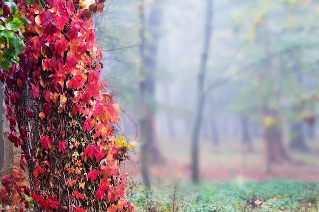 旧市街公園の真っ赤な紅葉とツタに包まれた木の幹