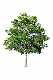 デザインや建築の広告に使用する白い背景に美しい新緑の葉を持つ木。