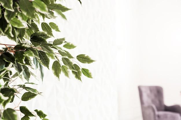 Дерево с зелеными небольшими листьями стоит у белой стены в интерьере гостиной.