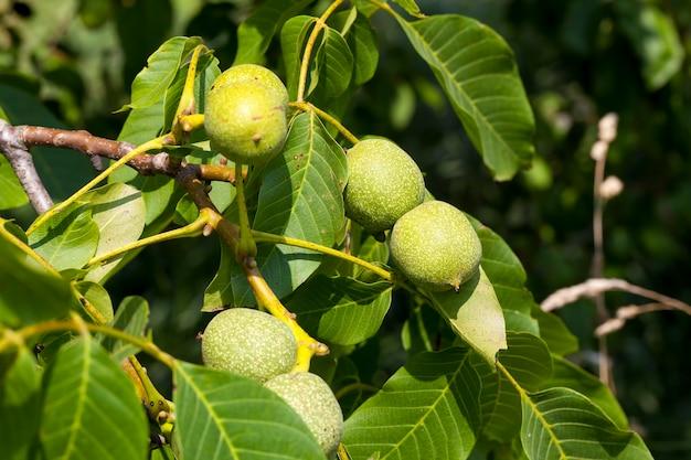 호두 농사에 녹색 호두가 있는 나무, 여름에는 녹색 설익은 호두