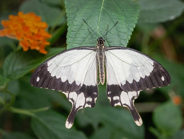 Тропическая бабочка, отдыхающая на листе