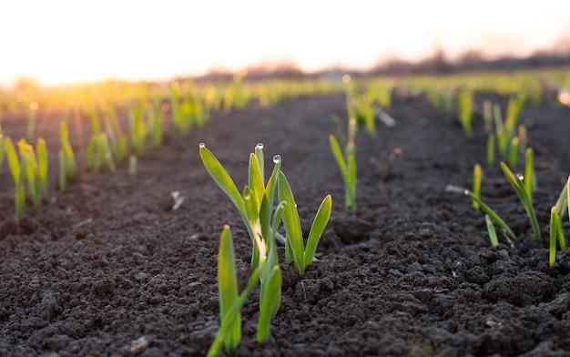 Пучок проросших зерен пшеницы или ячменя с каплями утренней росы