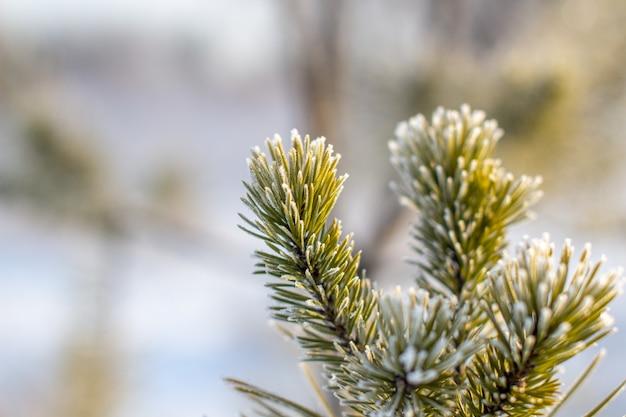 Ветка елки с иглами в инее на крупный план морозного дня. зимний фон.