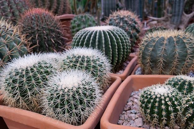 サボテン農園に展示されているさまざまなサボテンの植物。多肉植物の鉢植えの植物と中間色の環境に優しい背景。