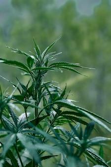 녹색 대마초 식물의 수직 근접 촬영 샷