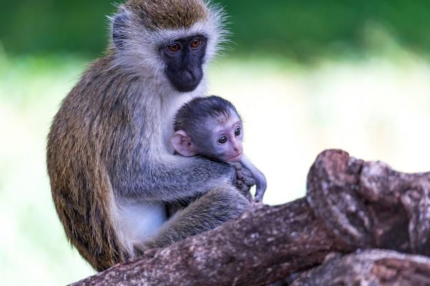 小さな赤ちゃん猿とベルベットの家族 Premium写真