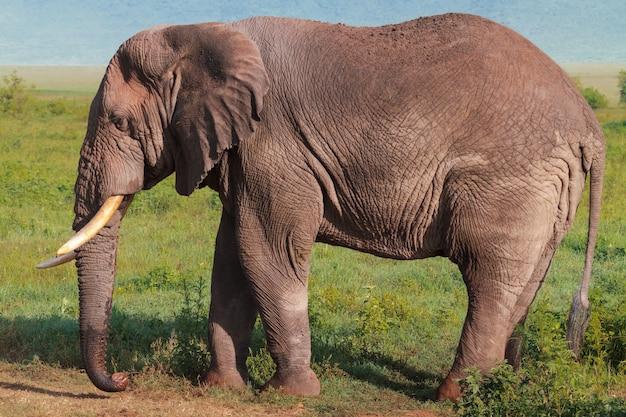 Очень большой африканский слон. нгоро-нгоро, танзания