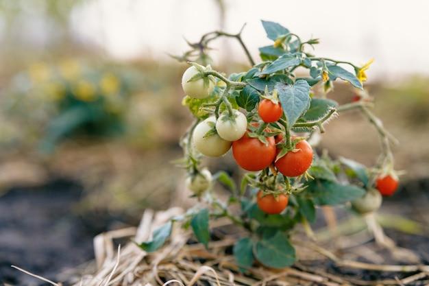 Очень маленький куст с крошечными зелеными и красными помидорами растет в почве, покрытой соломой.