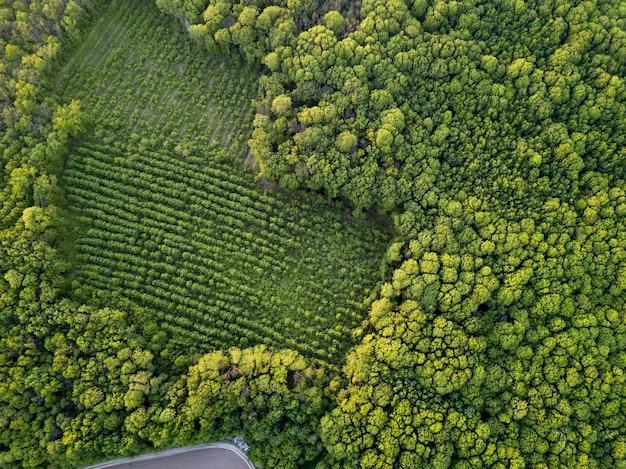 어린 나무가있는 어린 심어진 지역을 내려다 보는 오래된 숲 위에서 바라본 풍경. 삼림 벌채에 대한 보호의 에코 개념. 무인 항공기 사진